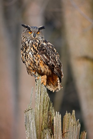 rare animal: Eagle Owl, big bird rare sitting on the stump in dark forest, animal in the nature habitat, Norway