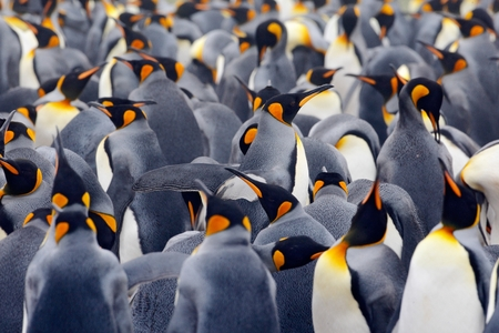 penguin colony: King penguin colony, many birds together, in Falkland Islands Stock Photo