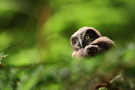boreal: Portrait of young Boreal Owl, with blurred leaves, hidden in green tree in the forest Stock Photo