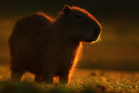 biggest: Biggest mouse around the world, Capybara, Hydrochoerus hydrochaeris, with evening light during sunset, Pantanal, Brazil