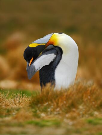 arctic penguin: King penguin, Aptenodytes patagonicus sitting in grass and cleaning plumage, Falkland Islands Stock Photo