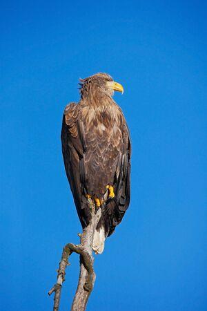 whitetailed: White-tailed Eagle, Haliaeetus albicilla, bird of prey with blue sky in background, Norway Stock Photo