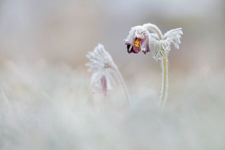 pasque: pasque flower with