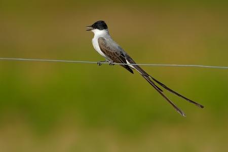 savana: Fork-tailed Flycatcher, Tyrannus savana, black, gray and white bird with very long tail, Pantanal, Brazil Stock Photo