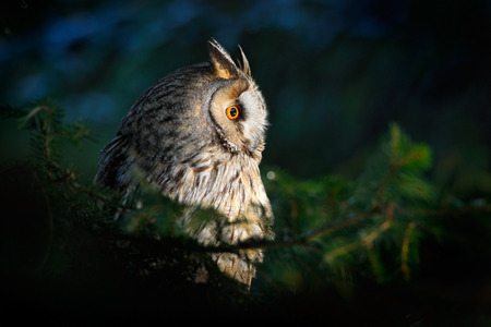 big bird: Long-eared Owl sitting on the branch in the fallen larch forest during autumn Stock Photo