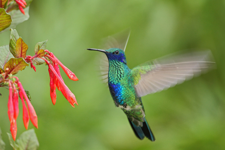 Green and Blue Hummingbird Sabrewing flying next to beautiful red flower