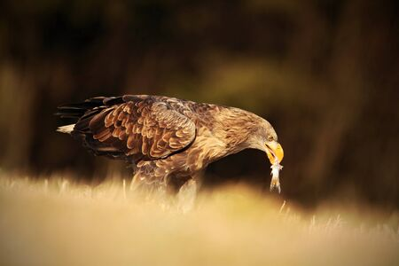 whitetailed: Big bird of prey White-tailed Eagle with catch fish sitting on the meadow with nice sun light