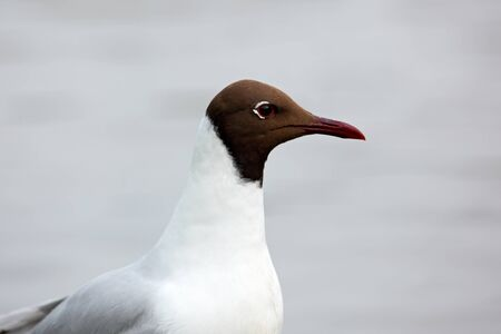 chroicocephalus: Black-headed Gull, Chroicocephalus ridibundus, detail portrait of white bird with black head, Finland
