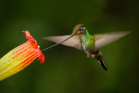 Sword-billed hummingbird, Ensifera ensifera, fling next to beautiful orange flover, bird with longest bill, in the nature forest habitat, Ecuador
