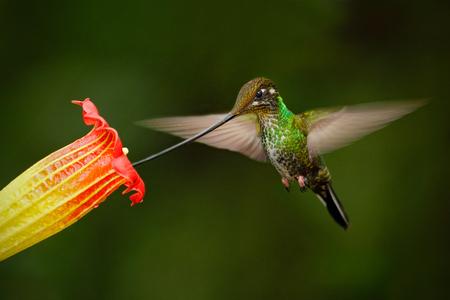 fling: Sword-billed hummingbird, Ensifera ensifera, fling next to beautiful orange flover, bird with longest bill, in the nature forest habitat, Ecuador
