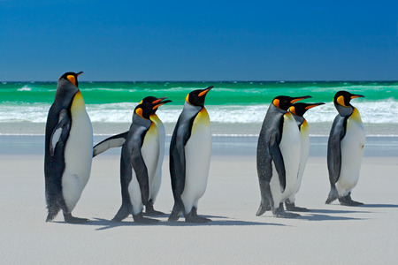 artic: Group of King penguins, Aptenodytes patagonicus, going from white sand to sea, artic animals in the nature habitat, dark blue sky, Falkland Islands