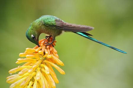 yellow tailed: Hummingbird Long-tailed Sylph eating nectar from beautiful yellow strelicia flower in Ecuador