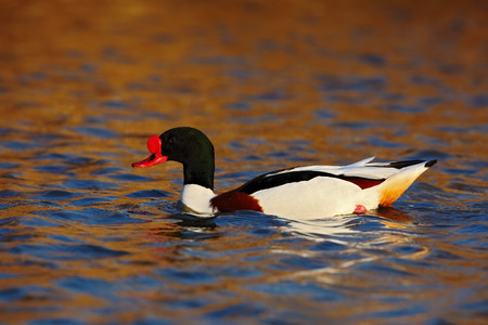 anseriformes: Common Shelduck, Tadorna tadorna, is waterfowl species shelduck, in the nature habitat, blue and brown autumn water level, France
