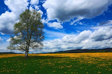 Summer scene landscape, yellow flower meadow with birch tree, beautiful blue sky with big grey white clouds, mountain in the background, Volary, Sumava, Czech republic