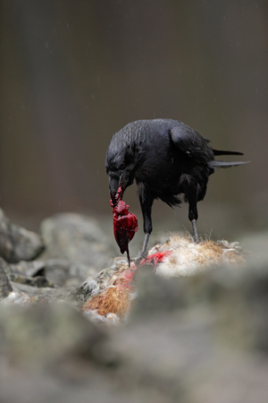 innards: Black bird raven with dead red fox, bloody heart in beak, sitting on the stone