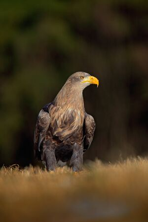 whitetailed: White-tailed Eagle, Haliaeetus albicilla, sitting on the meadow with nice sun light, big bird of prey, France Stock Photo