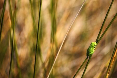 hyla: European tree frog, Hyla arborea, nice green amphibian sitting on grass with in the nature habitat, France