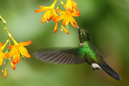 녹색 humingbird 전기석 Sunangel, Heliangelus exortis, 아름 다운 노란 오렌지 꽃, 코스타리카 옆에 비행 스톡 콘텐츠