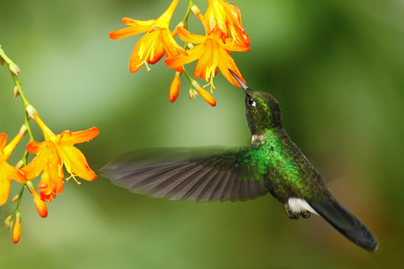 Green humingbird Tourmaline Sunangel, Heliangelus exortis, flying next to beautiful yellow orange flower, Costa Rica