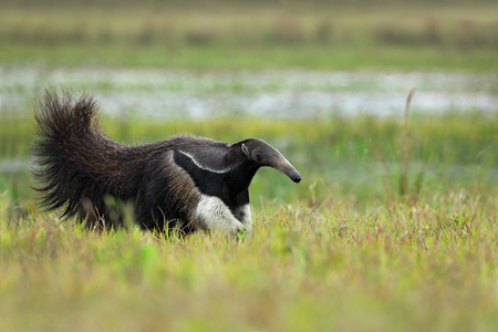 Running Giant Anteater, Myrmecophaga tridactyla, animal with long tail ane log nose, Pantanal, Brazil Фото со стока