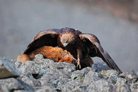 bird eating raptors: Golden Eagle, Aquila chrysaetos, feeding on kill Red Fox high in the stone mountains