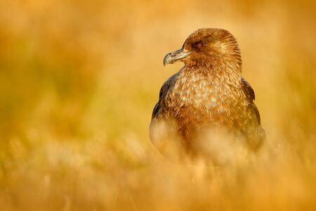 stercorarius: Brown skua, Catharacta antarctica, water bird sitting in the autumn grass, evening light, Argentina