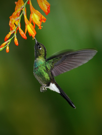 Hummingbird Tourmaline Sunangel eating nectar from beautiful yellow flower in Ecuador