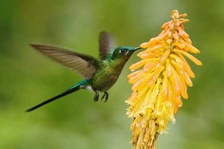 feed: Hummingbird Long-tailed Sylph eating nectar from beautiful yellow flower in Ecuador