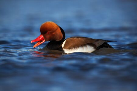 nice france: Nice duck with rusty head Red-crested Pochard, Netta rufina, floating on dark water surface Stock Photo