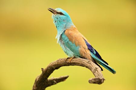 Bonito color azul claro pájaro rodillo europeo que se sienta en la rama con la cuenta abierta, borrosa fondo amarillo Foto de archivo - 51633830