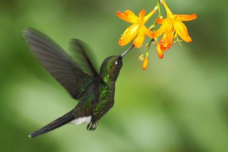 green tourmaline: Hummingbird Tourmaline Sunangel eating nectar from beautiful yellow flower in Ecuador