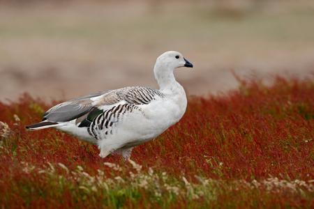 upland: Wild white Upland goose, Chloephaga picta, walking in the red autumn grass, Argentina