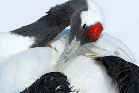wooing: Red-crowned crane, Grus japonensis, head portrait with white and back plumage, winter scene, Hokkaido, Japan Stock Photo