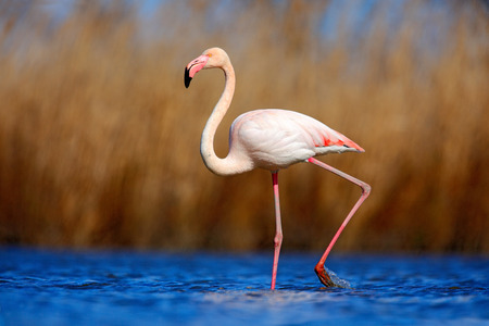 flamenco ave: Greater Flamingo, Phoenicopterus ruber, pink big beautiful bird in dark blue water, with evening sun, reed in the background, animal habitat in the nature, Camargue, France