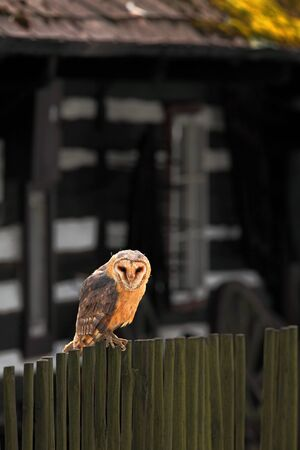 cottage fence: Barn owl sitting on wooden fence before country cottage, bird in habitat Stock Photo