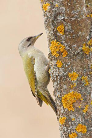 winter wood: Grey-headed Woodpecker sitting on the tree trunk with yellow lichen, nice green bird, Sweden