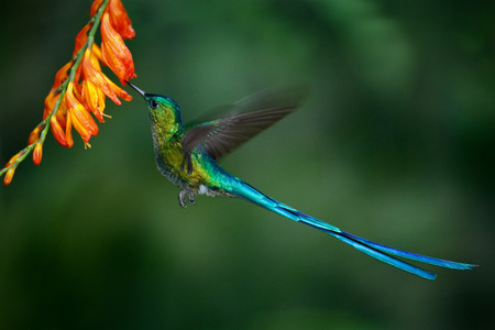 Hummingbird Long-tailed Sylph with long blue tail feeding nectar from orange flower
