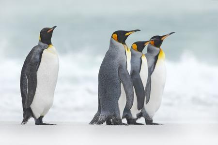 Groep van vier Koningspinguïns, Aptenodytes patagonicus, gaande van witte sneeuw naar zee, Falkland Islands