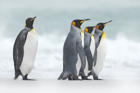 Group of four King penguins, Aptenodytes patagonicus, going from white snow to sea, Falkland Islands