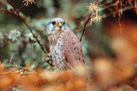 falco: Common Kestrel, Falco tinnunculus, little birds of prey sitting orange autumn forest, Finland