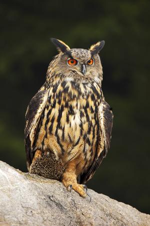 talon: Big Eurasian Eagle Owl with kill hedgehog in talon, sitting on stone