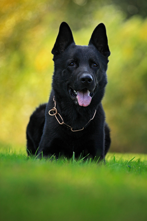 originated: German Shepherd Dog, is a breed of large-sized working dog that originated in Germany, sitting in the green grass with nature background