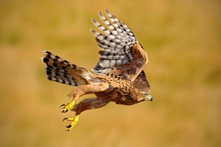 accipiter gentilis: Flying bird of prey Goshawk, Accipiter gentilis, with yellow summer meadow in the background, bird in the nature habitat, action scene, Sweden