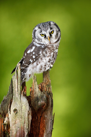 Boreal owl, Aegolius funereus, sitting on larch tree trunk with clear green forest background