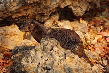 rare animal: Neotropical Otter, Lontra longicaudis, sitting on the rock river coast, rare animal in the nature habitat, Rio Negro, Pantanal, Brazil