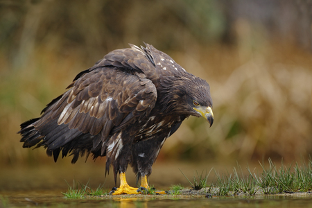 whitetailed: White-tailed Eagle, Haliaeetus albicilla, sitting in the water, with brown grass in background