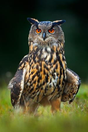 ワシミミズク、フォレスト、ノルウェーの大きな夜行性の鳥