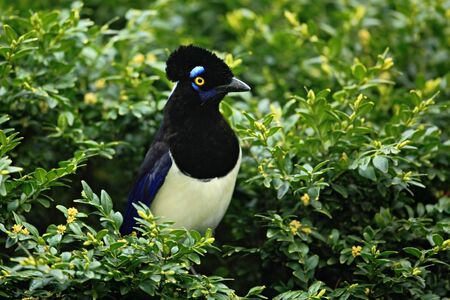 chrysops: Nice bird with dark head Plush crested Jay, Cyanocorax chrysops, sitting on green shrubs, , Brazil, South America
