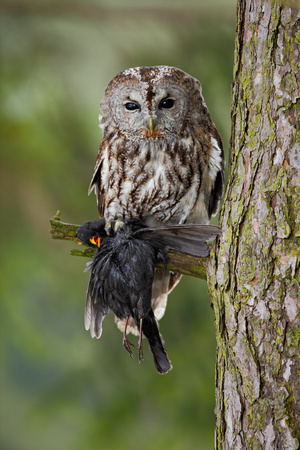 Tawny Owl with kill songbird balckbird, tree trunk with forest in the background, Norway