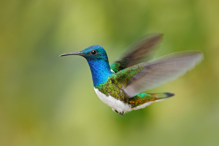 white necked: Flying blue and white hummingbird White-necked Jacobin, Florisuga mellivora, from Ecuador, clear green background